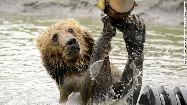 June 13: Taquoka plays with a log in a pond in his enclosure at the Alaska Wildlife Conservation Center in Portage, Alaska. The 2-year-old male brown bear began a trip to his new home in Sweden.