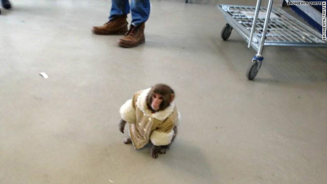 This small monkey was spotted at a Toronto IKEA in December. It now lives in a primate sanctuary.