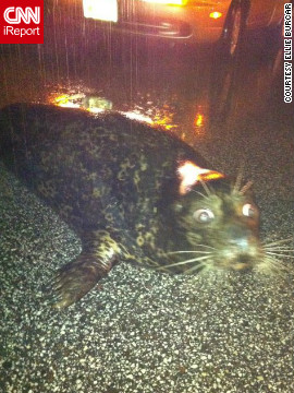 A stranded seal sat on a Duluth, Minnesota, roadway after it was washed out of the Lake Superior Zoo during the June flooding. This image, shot by Ellie Burcar - who discovered the seal - went viral. Authorities soon arrived and the seal survived the ordeal.