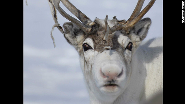 Reindeer noses: Really red?
