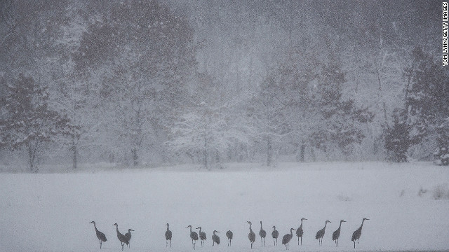 Sandhill cranes ride out the storm on the banks of the Wisconsin River on December 20 on Baraboo.