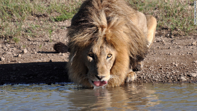 A wary lion pauses for refreshment in the Serengeti. The area and other parts of Africa are more affordable and accessible with the launch of budget airline, Fastjet.