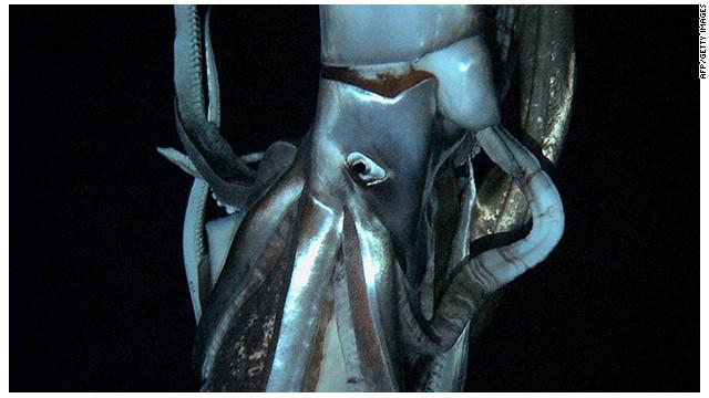 Filman por primera vez un calamar gigante en el fondo del mar