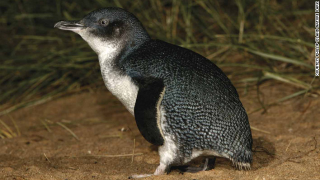 The smallest penguin species, known as little penguins or fairy penguins, lives only in Australia and New Zealand. This little guy was photographed in Australia's Phillip Island Nature Park.