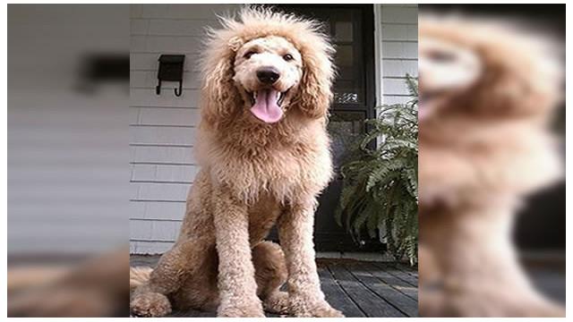 Un perro confundido con un cachorro de león causa alarma en EE.UU.