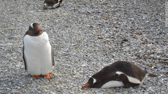 Gentoo penguins, seen here in Argentina, have orange beaks.