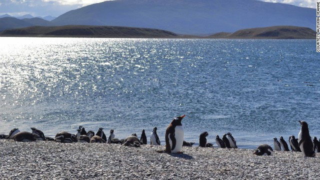 Gentoo and Magellanic penguins mingle in Tierra del Fuego, Argentina.