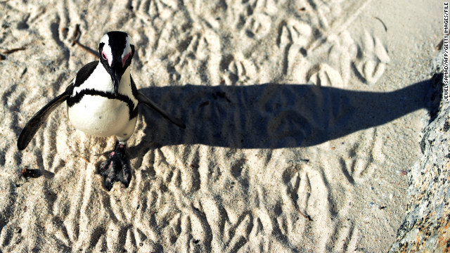 The African penguin is also known as the black-footed penguin.