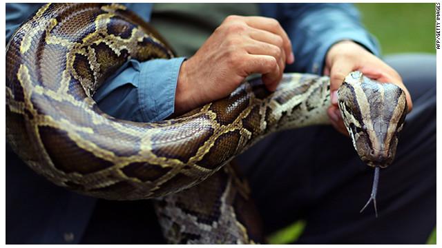 """Arrancó el """"desafío pitón"""", la cacería de serpientes en Florida"""