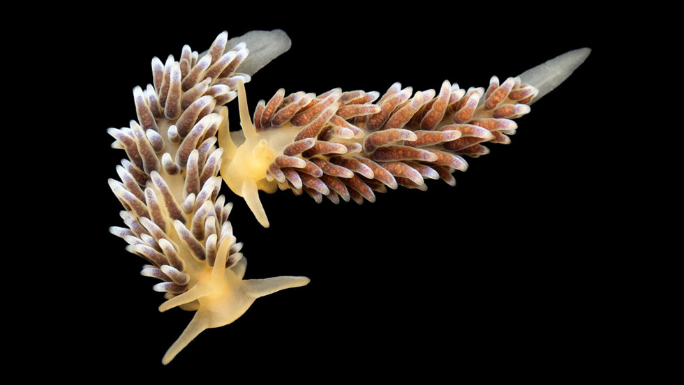 Precuthona are a very small nudibranch variety (less than two in. in length) and live in the shallow waters of the tidal zone to 100 ft deep. <a href='http://science.time.com/2013/01/15/denizens-of-the-deep-alexander-semenovs-pictures-of-undersea-creatures/' target='_blank'>See the complete gallery on TIME.com.</a>