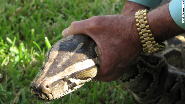 A 13-foot Burmese python pulled from a family's pool near the Everglades is shown off to a crowd of reporters and onlookers. Last August, the largest recorded Burmese python was captured and killed. It was more than 17 feet long and was filled with nearly 90 eggs. Sixty-eight of the snakes were culled during the 2013 Python Challenge, which ended February 10.