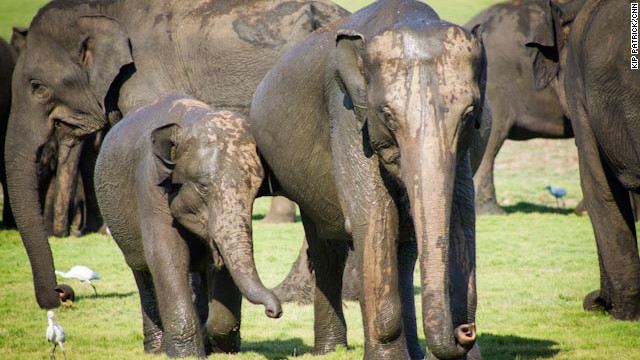 "Each year, as they have for centuries, hundreds of elephants descend on the shores of an ancient reservoir in Sri Lanka's north-central Minneriya National Park.<!-- --> </br><!-- --> </br>The migration is called ""The Gathering."" Here, an adolescent elephant and its mother search for food after a muddy visit to what may be the world's largest pool party."