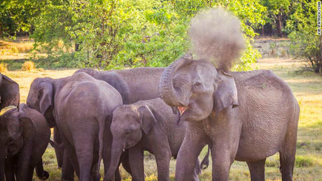 An adult female sprays herself with dirt and grass to help protect her skin and stay cool. Sri Lanka is home to an estimated 7,000 wild Asian elephants.