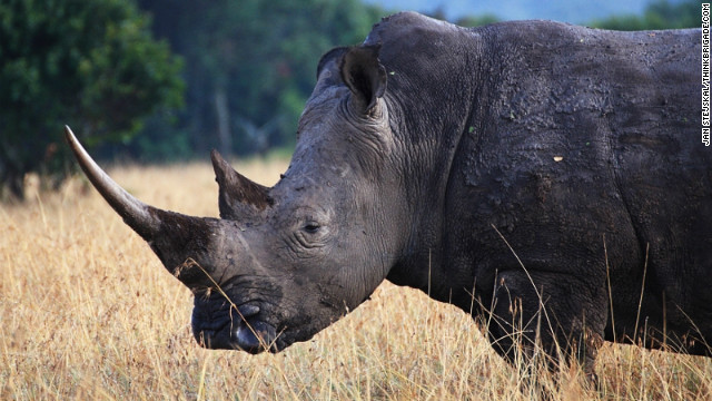 Ol Pejeta is home to 110 rhinos in total, its staff say. Apart from the four northern white rhinos, the conservancy also hosts 95 black rhinos and 11 whites rhinos.