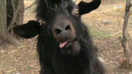 RidicuList: Goats!