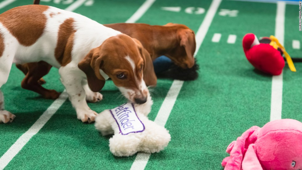 Puppy Bowl IX is Animal Planet's answer to the Super Bowl. The battle of the cute airs repeatedly on Sunday. Meet Sally, a dachshund/basset hound mix, left, and Harry, a chocolate dachshund smooth, both from Furever Dachshund Rescue.