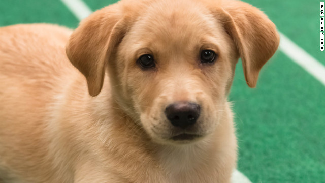 Chestnut, a Labrador retriever/Australian shepherd mix from Bonnie Blue Rescue, is a 9-week-old male who loves to snuggle.