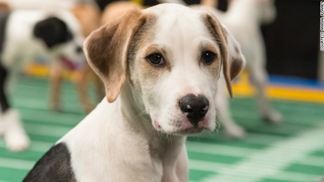 Lenny, a male Catahoula leopard dog mix from Gimme Shelter, is 12 weeks old and likes to sleep on peoples' heads.