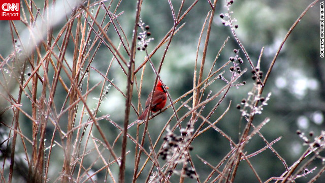 "After a late January ice storm in Greenville, North Carolina, Richard Barnhill was walking around his parents' yard when he spotted this cardinal and ""took as many pictures as I could."""