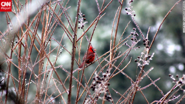 "A cardinal perches on shimmering branches after a Greenville, North Carolina, <a href='http://ireport.cnn.com/docs/DOC-917751'>ice storm</a> on January 26. ""I have an interest in weather and animal photography, so I decided to walk around and see what interesting images I could find,"" said Richard Barnhill."
