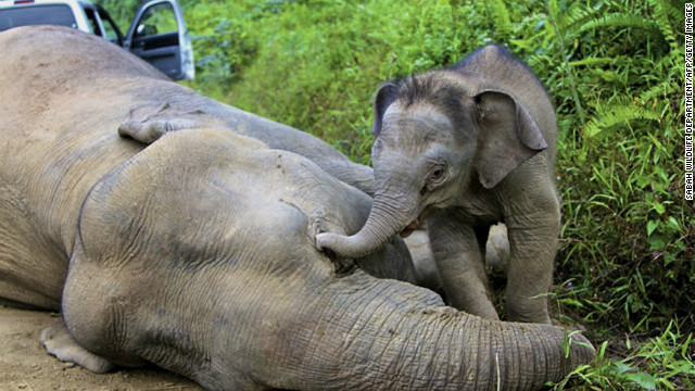 A baby elephant reaches out to its dead mother in the Gunung Rara Forest Reserve, Sabah, Malaysia in late January, 2013.