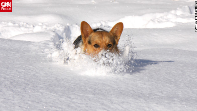 Shooty the corgi motors through a foot of snow in Greenbrier, Arkansas. &quot;Sometimes we couldn't see him because it was so deep,&quot; said Brent Smithson, who &lt;a href='http://ireport.cnn.com/docs/DOC-902299'&gt;shot this photo&lt;/a&gt; December 26.