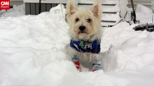 Jannet Walsh dresses her dog Andrew, a West Highland white terrier, in dog booties and wool socks to go out in blizzard conditions in Murdock, Minnesota. Andrew modeled his winter wear when it was minus 15 degrees in <a href='http://ireport.cnn.com/docs/DOC-892939'>this video</a> from December 9.