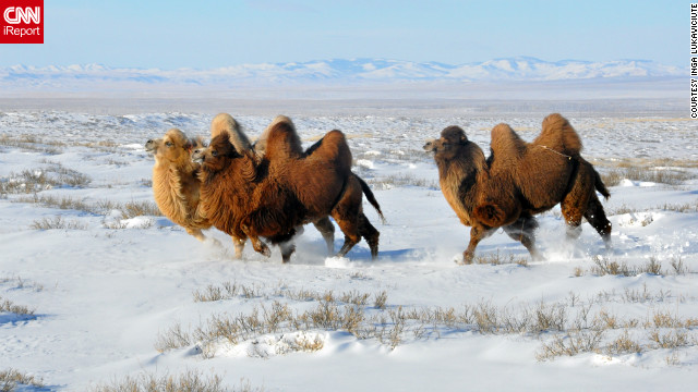 "Camels trek through a <a href='http://ireport.cnn.com/docs/DOC-918872'>blanket of snow</a> in Mongolia on December 30. Inga Lukaviciute captured this photo while horseback riding. ""We were riding horses in the snow-covered steppes and spotted the camels lying down in the distance. One of our guides took off on his horse to herd the camels closer,"" she said. ""I was in awe. The camels came running closer to us and around us. It was very unreal."""