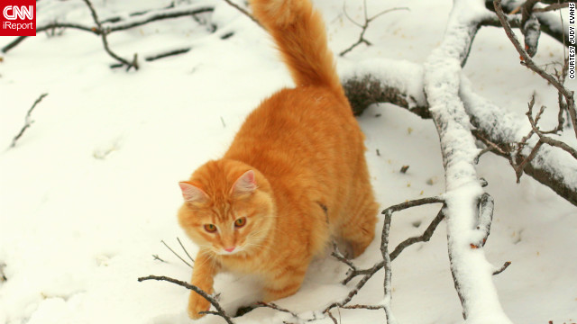 "Jimmie, a 10-month-old orange tabby, enjoys <a href='http://ireport.cnn.com/docs/DOC-919129'>his first snow</a> on Christmas Day. ""He is totally fearless,"" says Judy Evans of Fort Worth, Texas. ""His little eyes were full of wonder just as a child's first snow would be!"""