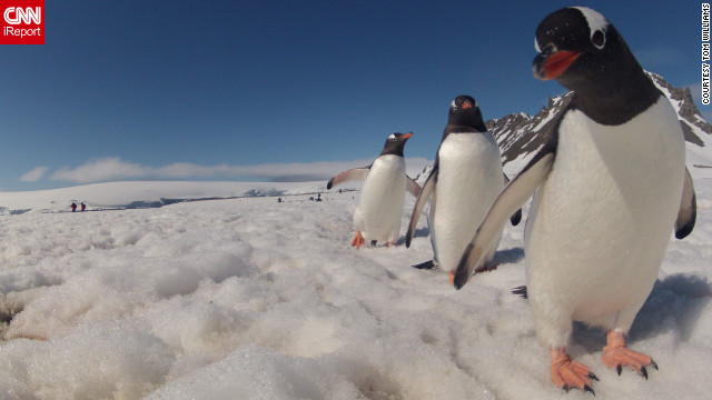 This Gentoo penguin was a bit curious about Tom Williams' camera as Williams explored Antarctica in December. &quot;The penguins can be watched for hours with enthusiasm,&quot; he said. &quot;Hundreds of them were walking in lines to and from the water. Generally, they would avoid coming too close, but this little guy &lt;a href='http://ireport.cnn.com/docs/DOC-905295'&gt;was a bit curious&lt;/a&gt; and decided to investigate and peek into the camera.&quot;