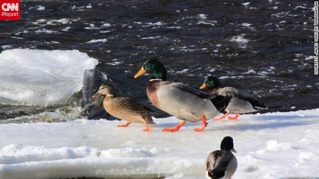 These ducks' orange feet show up nicely against the Tweed, Ontario, Canada, ice and snow. James Vincent Wardhaugh captured this photo <a href='http://ireport.cnn.com/docs/DOC-918488'>and others</a> on January 28.