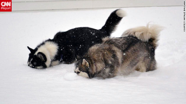 "Natalie Bauchan's Siberian huskies, Empire and Cammy, dig their noses into the Buffalo, New York snow. ""This is the <a href='http://ireport.cnn.com/docs/DOC-921022'>first thing they did</a> when they got into the foot-plus snow!"" said Bauchan. ""They have the best personalities and would pull a sled if we let them."""