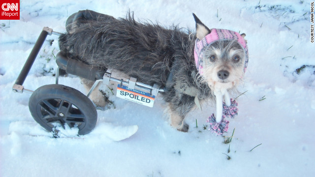 "Six-year-old Tori doesn't let being handicapped stop her from enjoying the snow. Look closely -- owner Jana Nicol of Lansing, Michigan, modified a <a href='http://ireport.cnn.com/docs/DOC-920689'>set of skis</a> to fit under the dog's tires and says skiing is now one of Tori's favorite activities. ""When I ask her, 'Wanna go skiing?' her ears shoot up and she gets all excited,"" said Nicol, who shot this photo December 27."