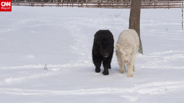 "These two calves weren't even a month old when they experienced their first snow in Lake Villa, Illinois. ""Good thing they come with <a href='http://ireport.cnn.com/docs/DOC-920799'>lots of fuzzy fur</a>,"" said Laura Heffernan. Her sister-in-law, Lynn Heffernan, shot this photo on February 2."