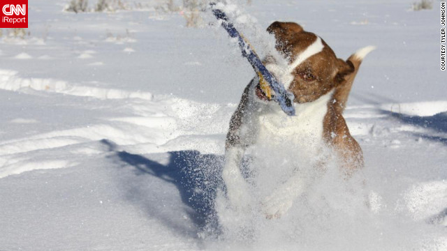 "Three-year-old Dixie dives for a Frisbee in the Victor, Idaho, snow. ""Dixie loves all kinds of water, whether it be frozen in the form of snow, flowing down a river, or in a lake,"" said Tyler Johnson, who captured this image January 20. ""We had to get a Frisbee that would not <a href='http://ireport.cnn.com/docs/DOC-921655'>sink in the snow</a>; there are currently two missing and buried in the snow somewhere in the yard."""