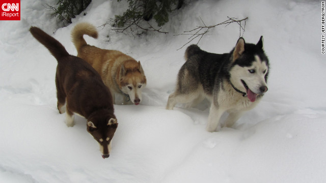 "Huskies Gus, Socia and Mic <a href='http://ireport.cnn.com/docs/DOC-921766'>trek through the snow</a> in Mullan, Idaho, on February 2. ""They love the snow and are bred for pulling sleds, although we don't do that,"" said Jeff Bergstrom."