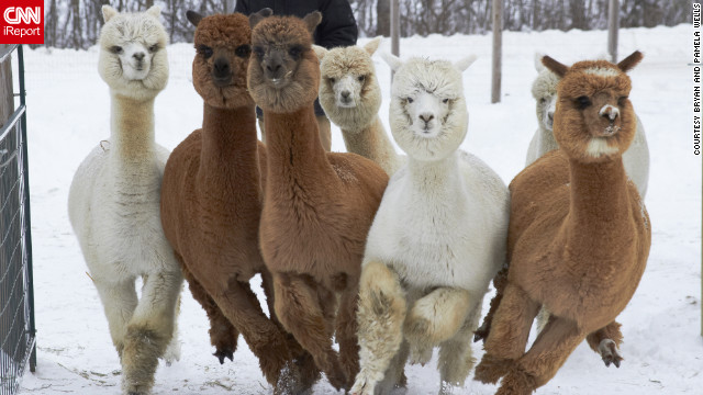 "These alpacas in Unity, Maine, love the snow! ""They can get quite excited in new snow and...<a href='http://ireport.cnn.com/docs/DOC-921927'>race as a herd</a> about the pasture,"" said Pamela Wells, who shot this photo December 30. ""The yearlings, in particular, like to run close together, and engage in a behavior called pronking; jumping up off the ground to show happiness."" Wells says the alpacas' fleecy fur is even warmer than wool."