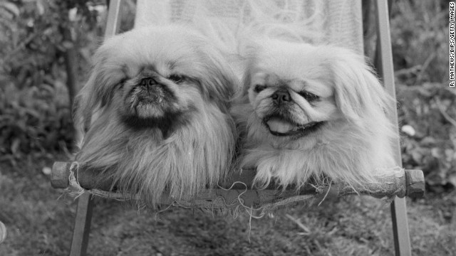 "Originally bred in China as far back as 800 AD, the Pekingese dog has long been a companion of royalty. They earned the moniker ""Sleeve Dog"" because they were often carried in the sleeves of Chinese courtiers' robes."