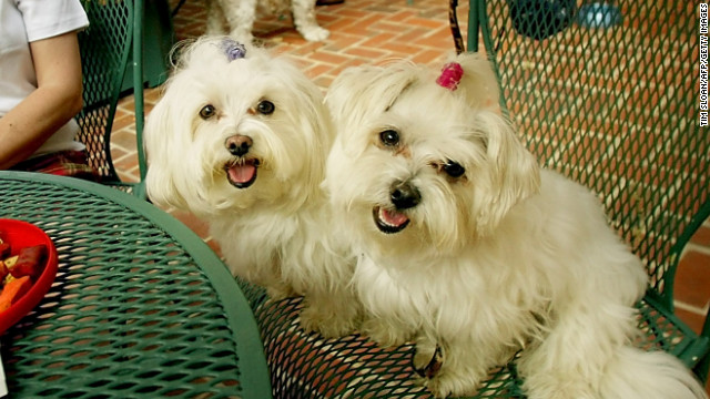 In ancient Malta, some believed the <a href='http://www.westminsterkennelclub.org/breedinformation/toy/maltese.html' target='_blank'>Maltese</a> dog had healing abilities. They were often brought to the bedsides of the ill in hopes of a speedy recovery.