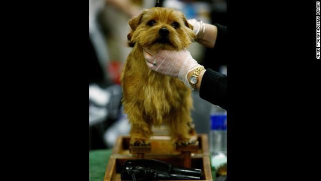 The Norfolk Terrier was bred specifically for Cambridge University students in the 1800s and 1900s, as they had a great need to rid their dorms of rats.