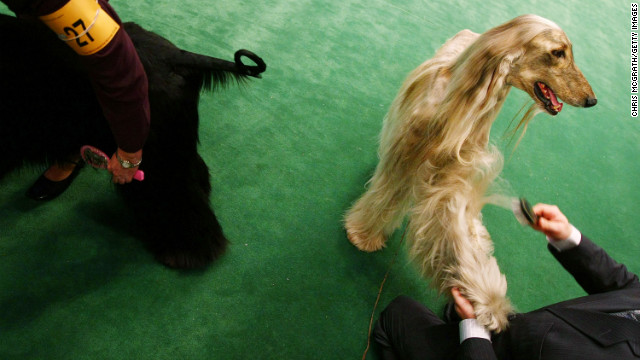A favorite of Afghan royalty for centuries, the Afghan Hound was bred to hunt gazelle, snow leopards and hare.