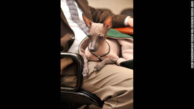 "It's far easier to call this breed the ""Mexican Hairless,"" but the Xoloitzcuintli (Show-low-itz-quint-lee) was prized by Aztecs as the guard dogs of the dead. They can still be found in Mexican jungles."