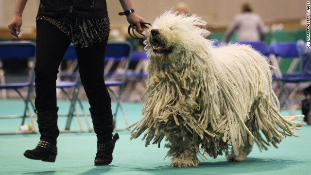 The Hungarian Komondor has long been used to guard livestock. That's because this dog can do so instinctively with no training.