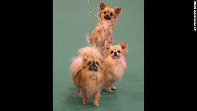 These tiny dogs with mysterious origins (people speculate Chihuahuas were developed by Aztecs, ancient Egyptians, the Sudanese or perhaps in Malta) have been used for religious sacrifice, eaten by conquistadors and used to guide their dead owners' souls to the hereafter.