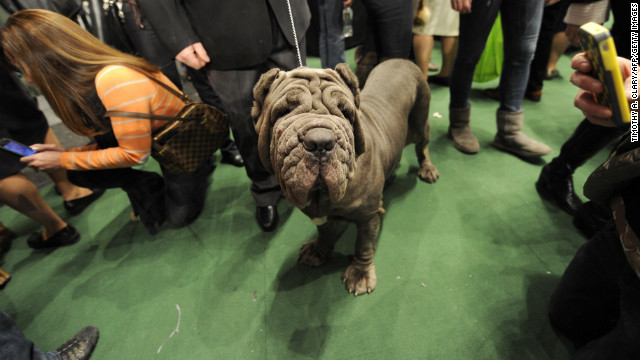 Known as an ancient companion of Roman warriors, the Neapolitan Mastiff is a guard dog with a twist: Italian owners bred this dog to startle, amaze and astonish onlookers.