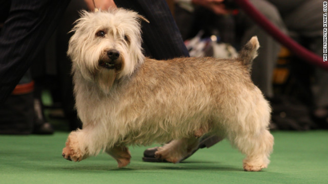 Named for an Irish valley, the Glen of Imaal Terrier is a vermin-hunting dog that was bred with a unique talent: This dog functioned as a cog in elaborate turnspits by pawing a large wheel that turns a spit over a fire. Well done!