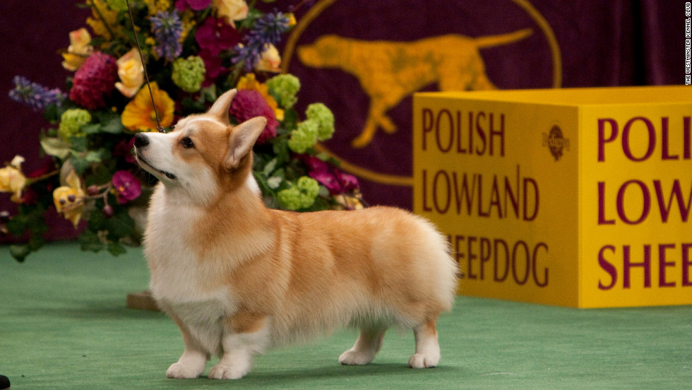 Many dog breeds recognized by the Westminster Kennel Club are named for the work they were bred to do, such as pointers, retrievers and shepherds. But some dog breeds are not as obvious. &lt;a href='http://www.westminsterkennelclub.org/breedinformation/herding/pembrok.html' target='_blank'&gt;Pembroke Welsh Corgis&lt;/a&gt;, for example, are well-known as the foxy, playful pet of Queen Elizabeth. No taller than 2 feet, this dog was originally bred to herd and drive cattle.