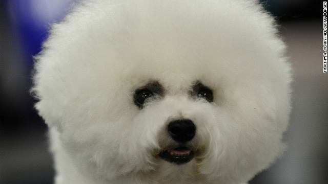 An old companion breed from the Mediterranean, <a href='http://www.westminsterkennelclub.org/breedinformation/non-sporting/bichonf.html' target='_blank'>Bichon Frises</a>, developed a knack for inspiring painters. They often appear in Renaissance art.