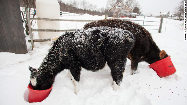 A pair of cows feed in the snow at Eden Pond Farm in Leyden, Massachusetts.