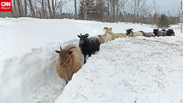When the blizzard receded in Limerick, Maine, Douglas Corrigan went out to check on his <a href='http://ireport.cnn.com/docs/DOC-924591'>flock of Icelandic sheep</a>. He says they seemed perplexed when he found them in their barn, surrounded by three feet of snow. He spent hours clearing a path for them so they could get some exercise.